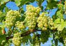 Adopteer een wijngaard en word wijnboer op afstand