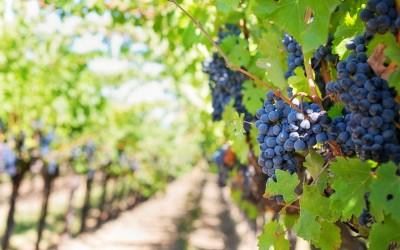 Chianti of Brunello di Montalcino? Toscaanse wijnen in een notendop